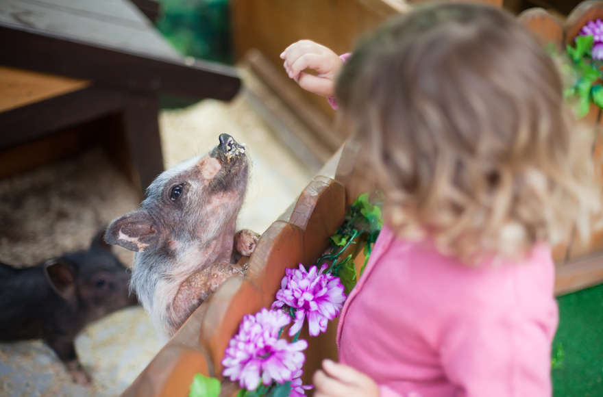 Feeding piglets at Paignton Zoo