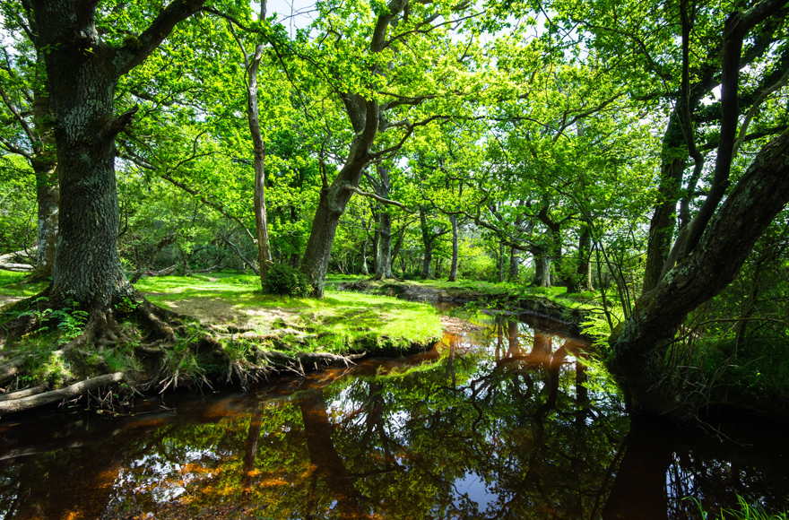 New Forest woodland and stream