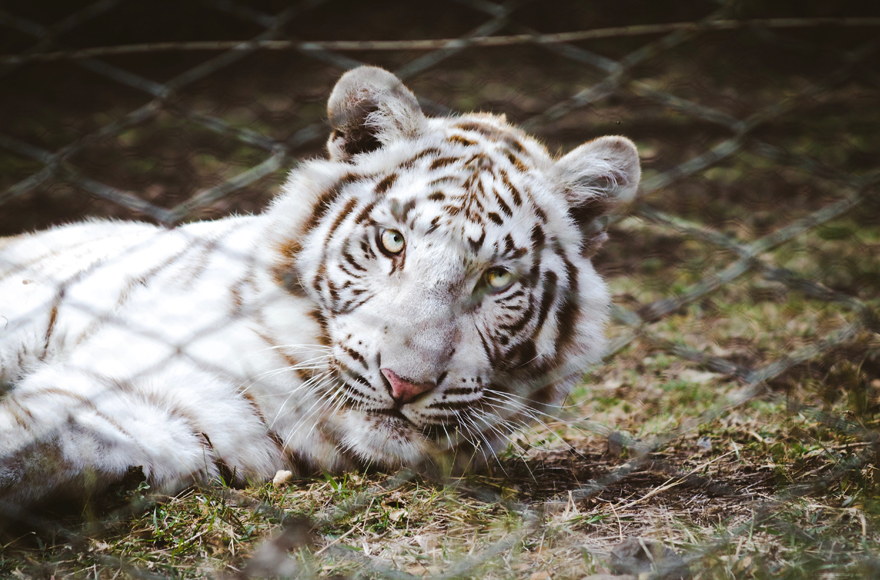 White tiger at Linton Zoological Gardens