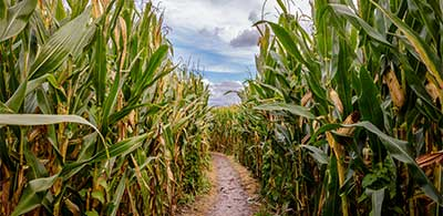 Inside York Maze with corn stalks on either side