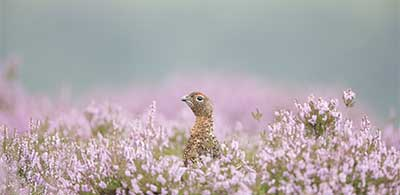 Grouse lifting its head above the blooming heather of Yorkshire Moors