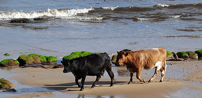 Two cows on sandy Brora Beach in Scotland