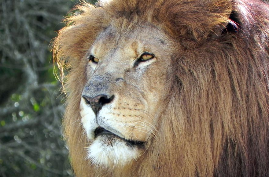 See the lions at Longleat Safari Park