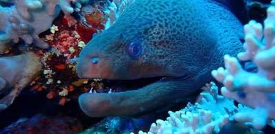 Eel swimming amid coral and baring teeth