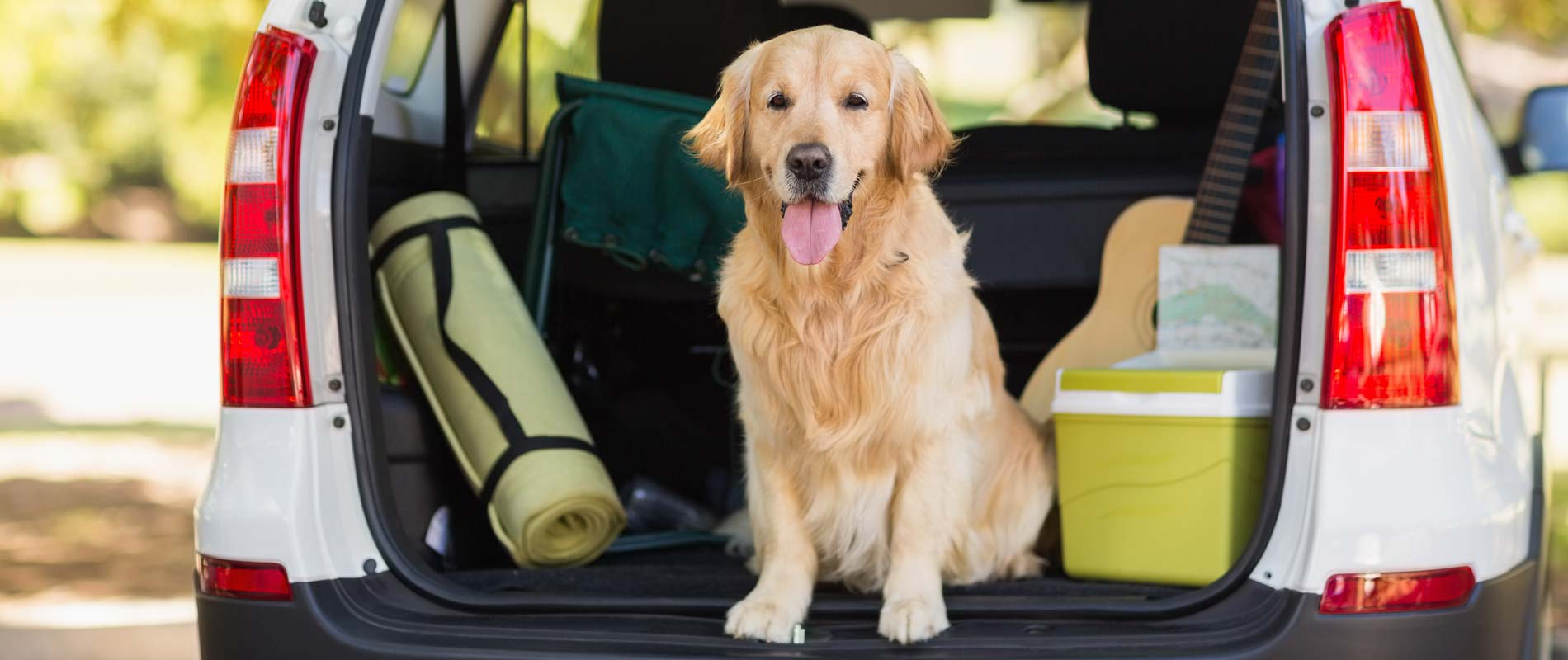 Golden retriever in an open boot, sitting next to picnic box and camping mat