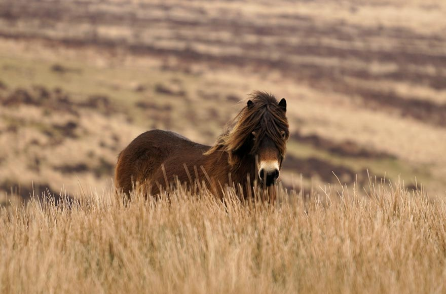 Discover beautiful wildlife in Exmoor National Park, from ponies...