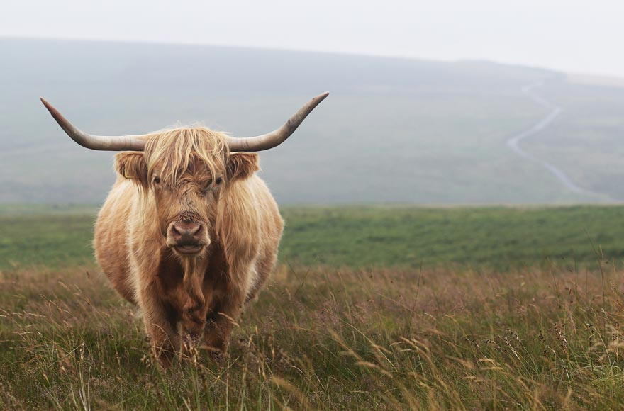 ...to highland cows!