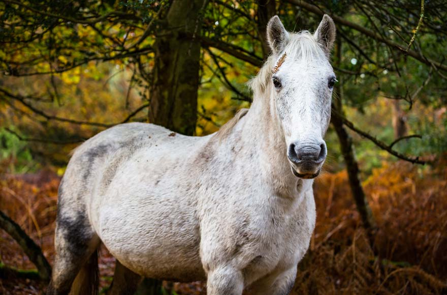 White horse in the New Forest
